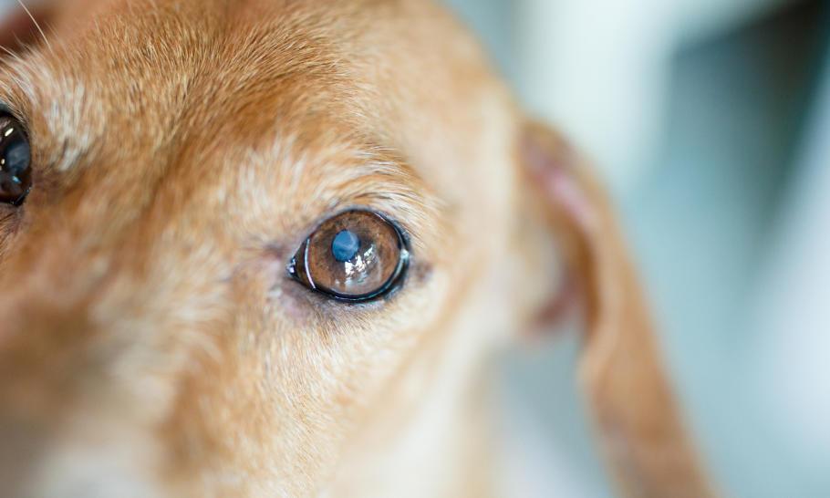 Czy psia zaćma jest uleczalna?