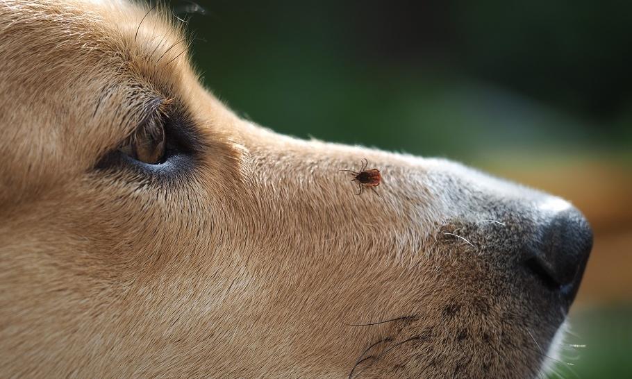 Jakie zagrożenia dla zdrowia psa niesie ukąszenie kleszcza?