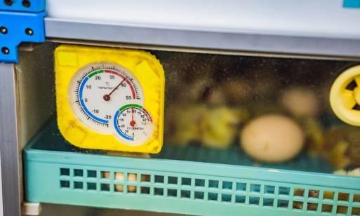 Znaczenie temperatury w hodowli piskląt