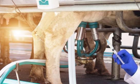 Jak sprawdzić, czy w mleku jest antybiotyk?