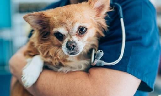 Jakim zabiegom chirurgicznym najczęściej poddaje się zwierzęta?