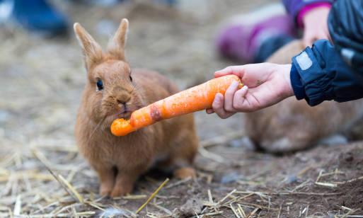 Dlaczego marchew pastewna to polecana roślina paszowa dla małych zwierząt?