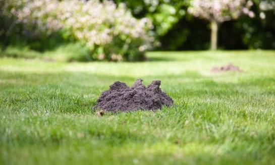 Jak pozbyć się kretów z ogródka?