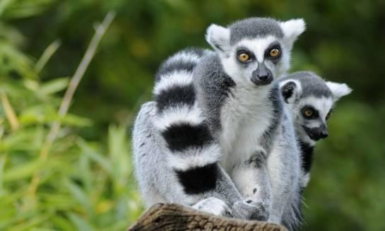 Lemury z bliska - wycieczka na Madagaskar