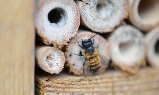 Pszczoły samotnice. Charakterystyka, przegląd pszczół samotnic występujących w Polsce