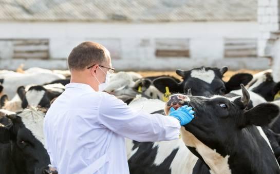 Skutki zaburzeń homeostazy spowodowanych zaburzeniami metabolicznymi u krów