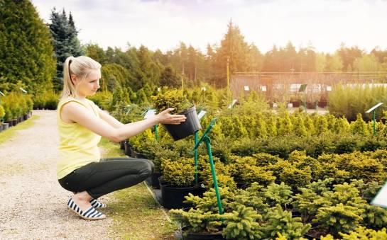 W jakich warunkach należy uprawiać rośliny iglaste?