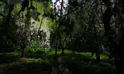 Choroby drzewka ozdobnego catalpa nana