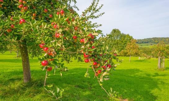 Jakie drzewka owocowe wybrać do ogrodu?