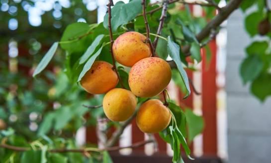 Drzewka owocowe - jak je pielęgnować?