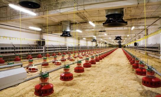 Ścielarka do kurnika – sprzęt niezbędny w hodowli drobiu