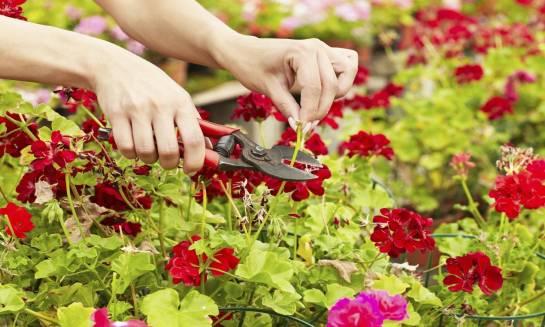 Jak uprawiać pelargonie? Porady i wskazówki