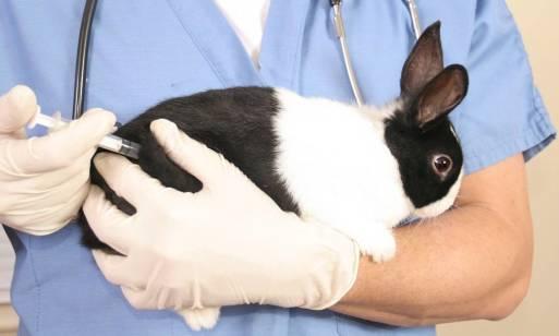 Szczepienia domowych królików i fretek przeciwko chorobom zakaźnym