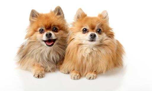 Pomeranian – charakter i pielęgnacja szpica miniaturowego