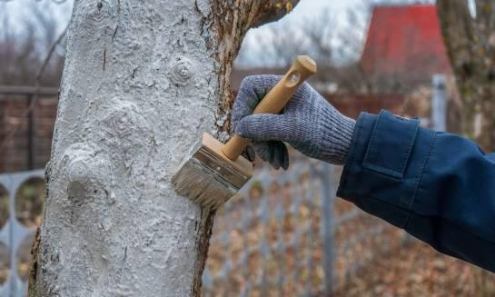 Jak zabezpieczać drzewka owocowe przed zimą?