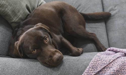 Zwierzak w domu - jak usunąć sierść z kanapy?