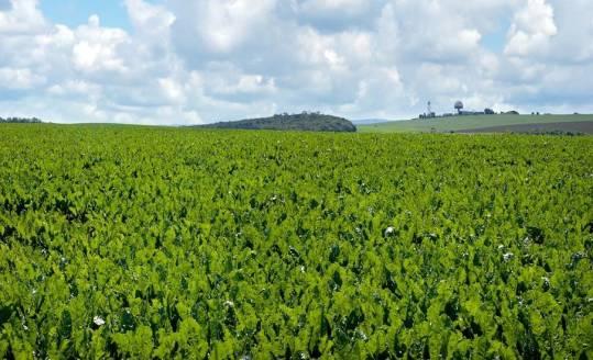 Jak wygląda uprawa buraka pastewnego w Polsce?