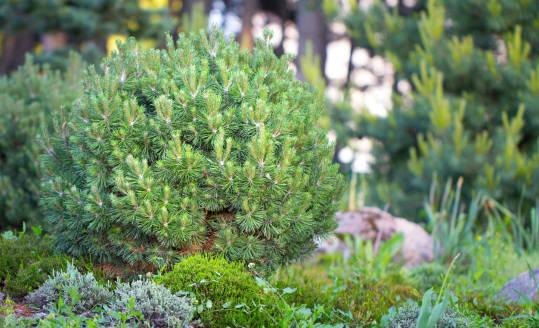 Jak dbać o drzewka iglaste? Podlewanie i nawożenie